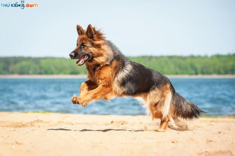"""Chó Becgie Đức, German Shepherd - """"Quốc Khuyển"""" lừng danh của Đức"""