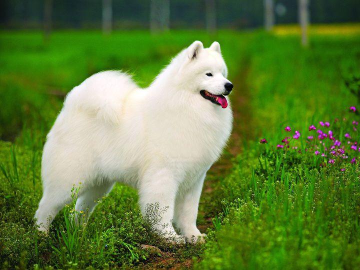 Giống chó Samoyed. Đặc điểm, tính cách chó Samoyed thuần chủng