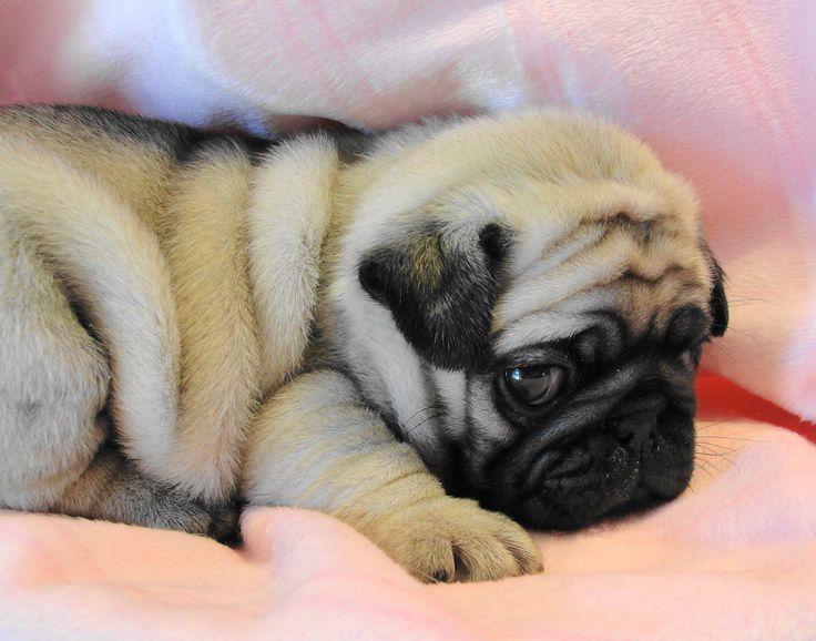 Hình ảnh chó Pug mặt xệ dễ thương. Ảnh chó Pug mặt xệ đẹp, cute