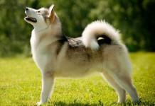 hình ảnh chó alaska đẹp chuẩn