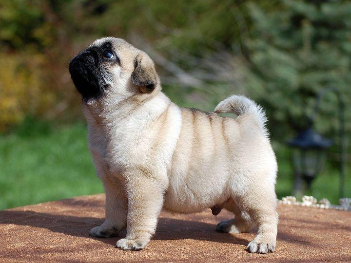 Chó mặt xệ, hay chó mặt nhăn. Các giống chó mặt xệ lớn và nhỏ