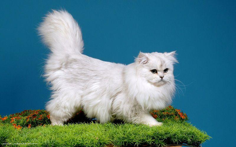 mèo anh lông dài, mèo ald thuần chủng