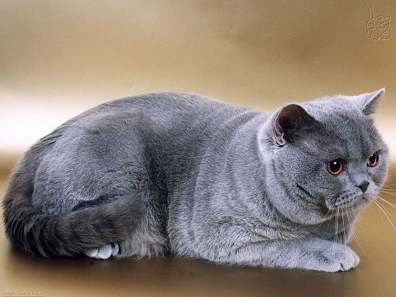 mèo anh lông ngắn, mèo aln