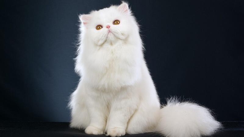 mèo lông xù | Mèo ba tư mặt tịt lông xù