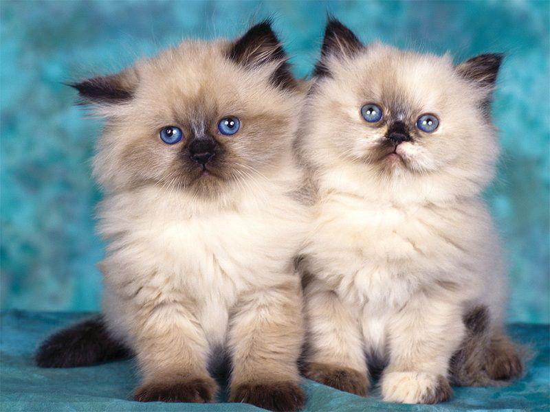 các giống mèo lông xù