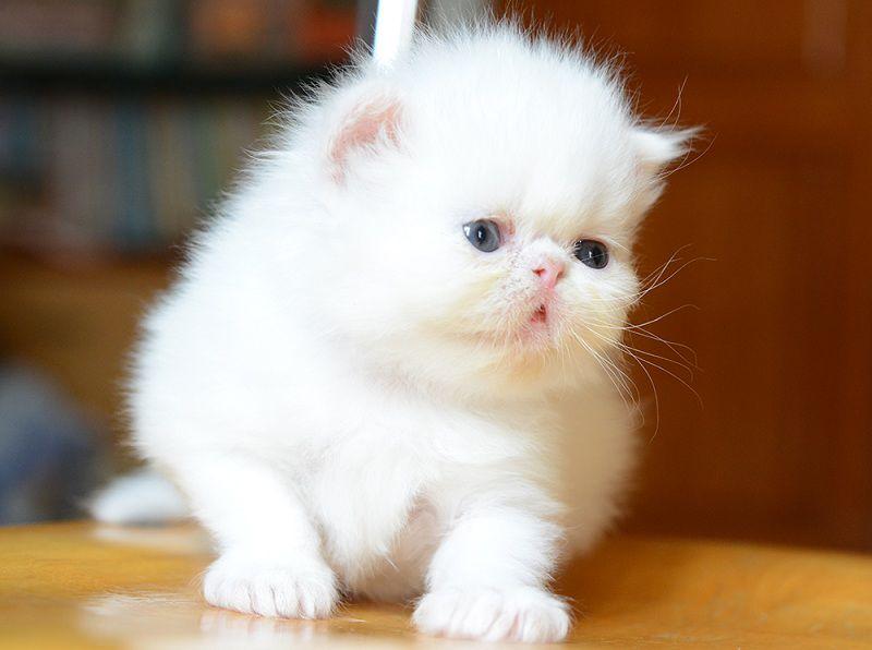 mua mèo ba tư ở đâu? Bán mèo ba tư ở hà nội tphcm giá rẻ