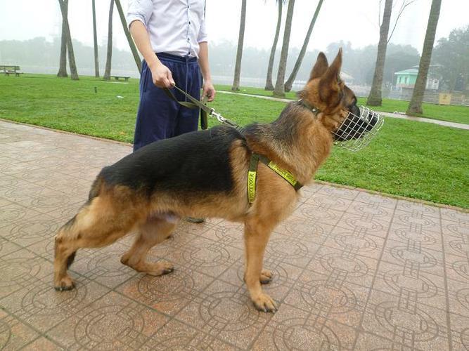 Mua chó Becgie Con giá bao nhiêu tiền? Giá chó Becgie Đức thuần chủng