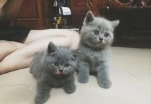 Mua mèo Anh lông ngắn giá bao nhiêu tiền? Giá mèo Anh lông ngắn (Aln)
