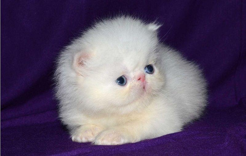 mua mèo ba tư giá bao nhiêu? giá mèo ba tư exotic