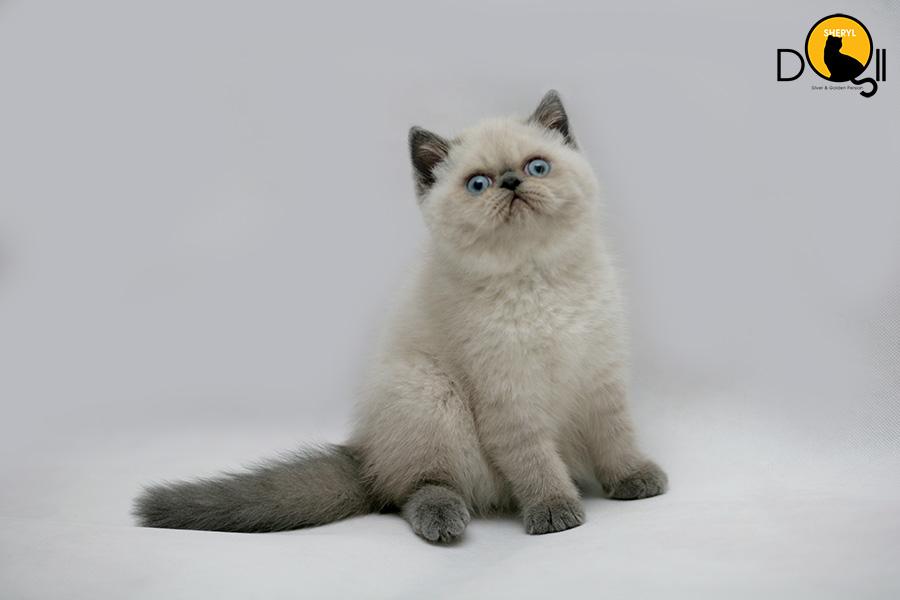 Mua mèo exotic giá bao nhiêu? Bán mèo Exotic thuần chủng