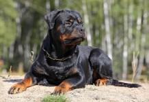 Địa chỉ & giá phối giống chó Rottweiler ở Hà Nội và TPHCM