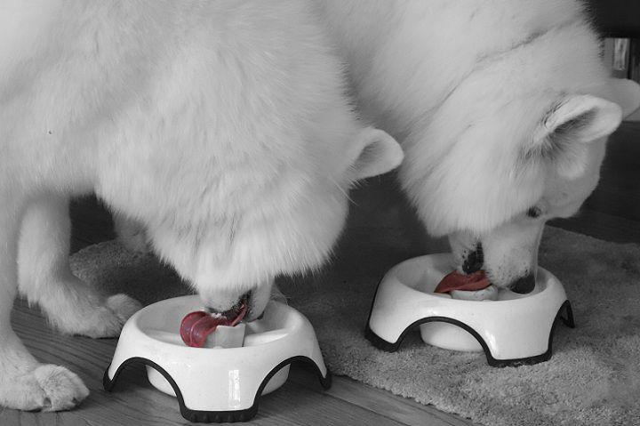 Chó Samoyed ăn gì? Thức ăn cho chó Samoyed. Thực đơn cho Samoyed
