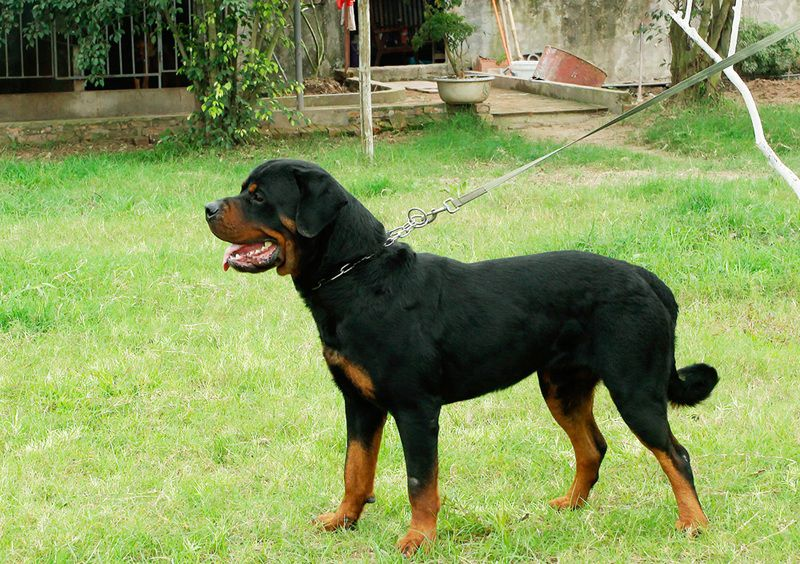 Trại chó rottweiler Sơn Tùng Hà Nội