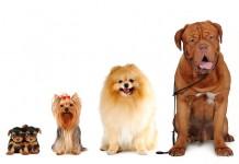 Bạn Nên Nuôi Giống Chó Cảnh Nào? Tư Vấn Chọn Mua Giống Chó Phù Hợp