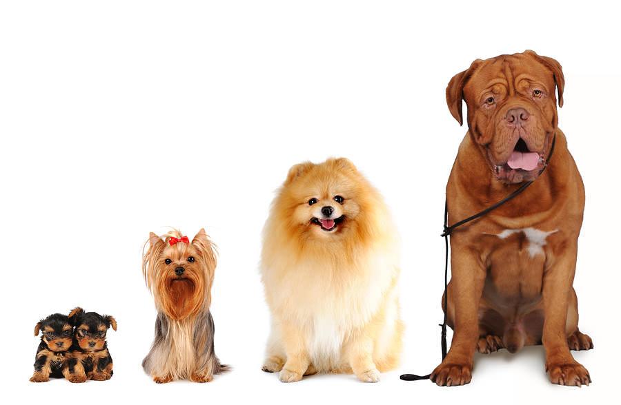 Nên Nuôi Giống Chó Cảnh Nào? Tư Vấn Chọn Mua Giống Chó Phù Hợp