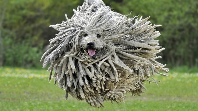 giá các giống chó lông xoăn đáng yêu ở việt nam
