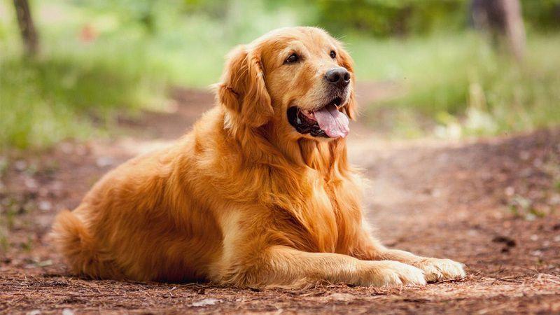 Các giống chó thông minh nhất. Giống chó khôn nhất thế giới