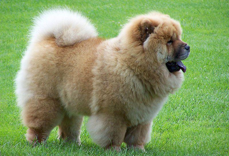 Giống chó Chow Chow (hay chó Gấu). Cách nuôi chó Chow Chow thuần chủng
