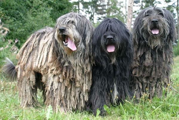 Các giống chó lông xù đẹp nhất: chó Nhật lông xù, poodle, phốc sóc, Bắc Kinh
