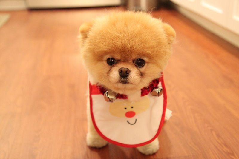giá chó Boo ở Việt Nam. Mua bán chó Boo ở Hà Nội và TPHCM