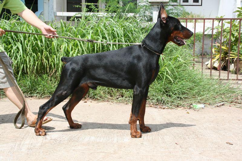 Mua chó Doberman giá bao nhiêu? Trại chó Doberman, Bán chó Doberman ở Hà Nội và TPHCM