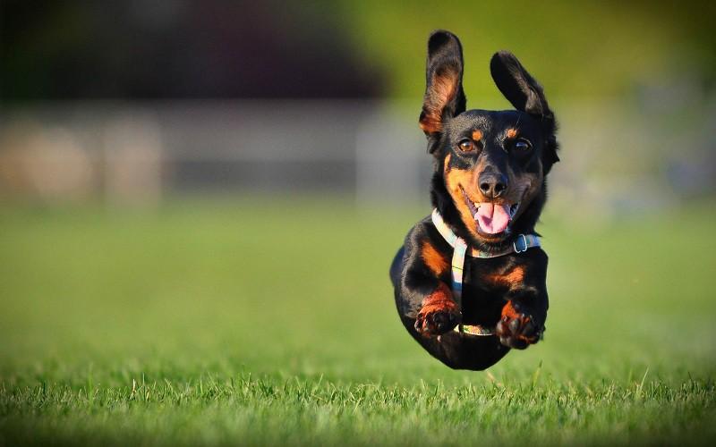 Các giống chó chân ngắn (chó chân lùn): Dachshund, Corgi và Basset Hound
