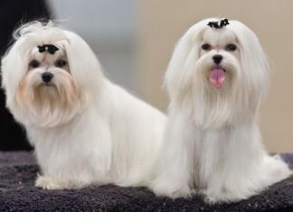 giống chó maltese. Mua bán chó Maltese giá bao nhiêu. Cách nuôi chó Maltese