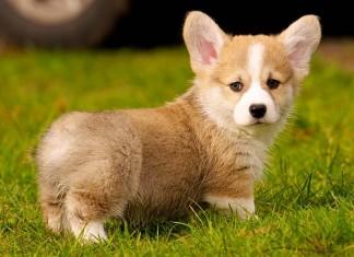 Chó corgi giá bao nhiêu? Bán chó corgi ở Hà Nội và TPHCM