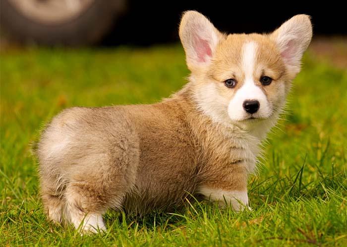 Chó corgi giá bao nhiêu? Giá chó Corgi. Bán chó corgi ở Hà Nội và TPHCM