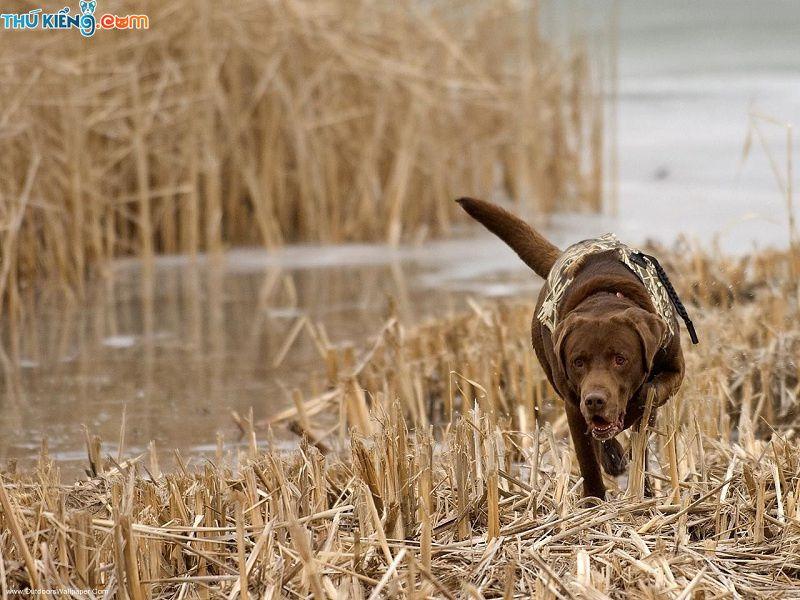 Chó Labrador Retriever. Giống chó tha mồi Labrador: Ưu và Nhược điểm