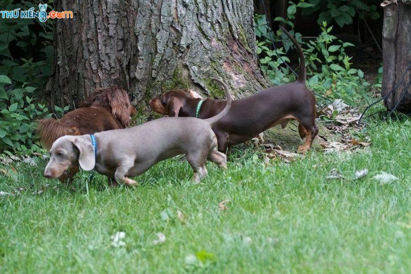 Chó Lạp Xưởng (Dachshund, Tacken) - Giống Chó Săn Siêu Ngộ Nghĩnh
