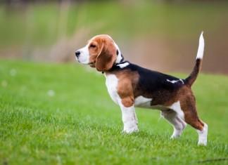 Mua bán chó Beagle giá bao nhiêu ở Hà Nội và TPHCM? Nuôi chó săn thỏ Beagle