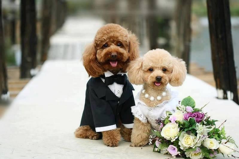 Giá Phối Giống Chó Poodle. Địa chỉ phối giống chó poodle ở Hà Nội và TPHCM