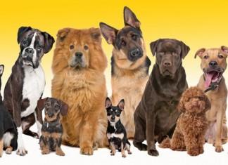 Tuổi thọ của chó. Tuổi thọ các giống chó ảnh phổ biến ở Việt Nam