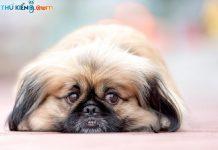 Cách nuôi chó Bắc Kinh & Bắc Kinh lai Nhật. Thức ăn cho chó Bắc Kinh