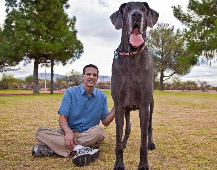 giống chó cao nhất thế giới