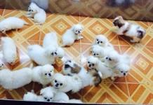 Mua bán chó Bắc Kinh và Bắc Kinh lai Nhật giá bao nhiêu ở Hà Nội và TPHCM