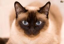 Mèo Xiêm. Mua mèo Xiêm giá bao nhiêu? Bán mèo Xiêm ở Hà Nội và TPHCM