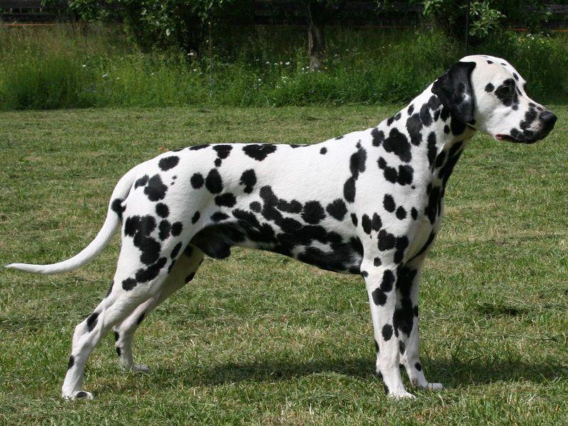 Chó Đốm giá bao nhiêu? Mua bán chó đốm thuần chủng ở VN