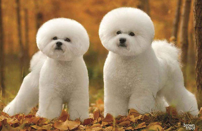 Chó Bichon Frise. Mua chó Bichon giá bao nhiêu? Bán chó Bichon ở Hà Nội và TPHCM
