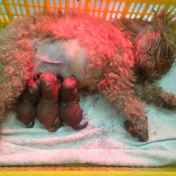 bán 3 em poodle 47 ngày tuổi - Hà nội