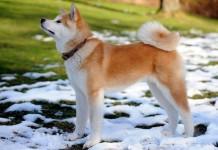 Chó Akita Inu thuần chủng. Mua bán chó Akita giá bao nhiêu ở Việt Nam?