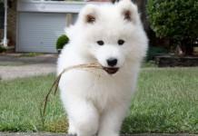 bán chó samoyed