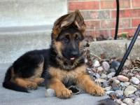 Bán chó Becgie Đức (GSD)