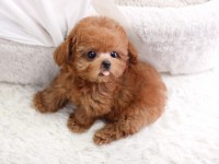 Bán chó Poodle nâu đỏ, socola và trắng