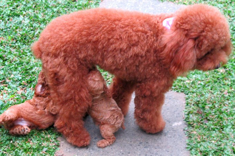 Chó Poodle: Nguồn Gốc và Đặc Điểm | Giá Chó Poodle tại Việt Nam