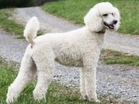 Bán chó Standard Poodle (rất hiếm)