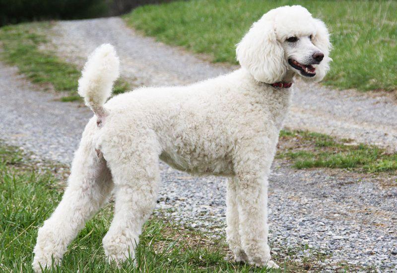 Giống chó Poodle, chó Săn Vịt. Nguồn gốc, đặc điểm chó Poodle