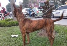 Mua bán chó Phú Quốc. Các trại chó Phú Quốc ở Hà Nội & TPHCM