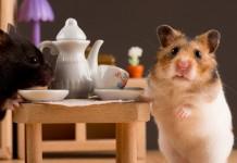 Cách nuôi Hamster. Các vật dụng và thức ăn cho chuột Hamster